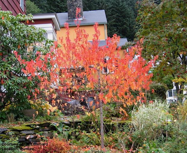 http://alaskaplants.org/plant_images/acer_tataricum_subsp_ginnala_acer_ginnala_fall.jpg